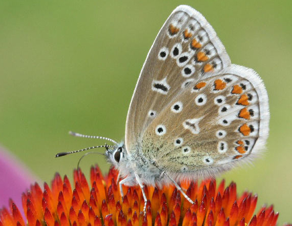 Common Blue Underside. Copyright Dave Green