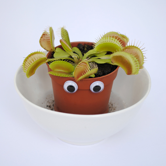 Sheepish venus fly trap